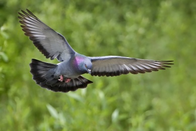 rockdove-in-flight-wikipedia