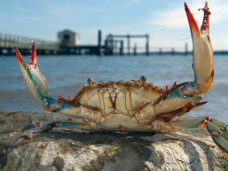 Blue-Crab-ChesapeakeBay.jpg
