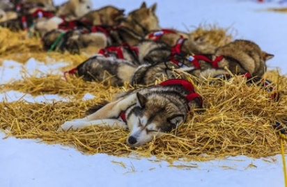 alaska-sleddogs-sleeping-winterlakelodge
