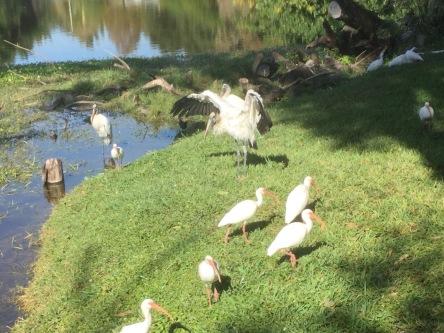 ibises-with-storks-chez-webel-ad2016