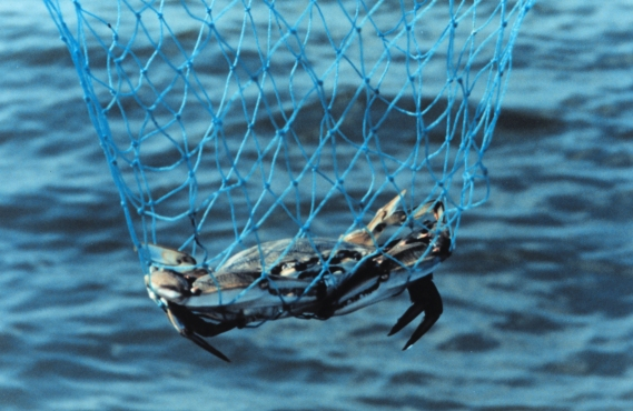 BlueCrab-in-net.NOAA-photo.jpg