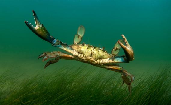 bluecrab-underwater-grass-harrisseafood-photo