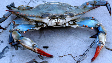 bluecrab-virginiainstitutemarinescience-photo