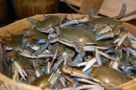 bluecrabs-in-bushel-calvertbeacon-photo