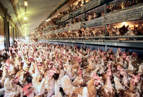 chickens-factoryfarm-encyclopediabritannica