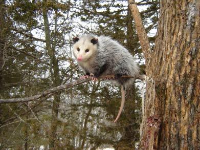 opossum-in-tree-floydsanford-photo