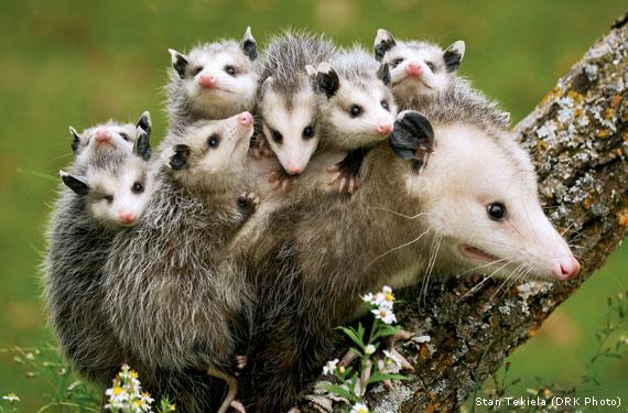 opossum | rockdoveblog