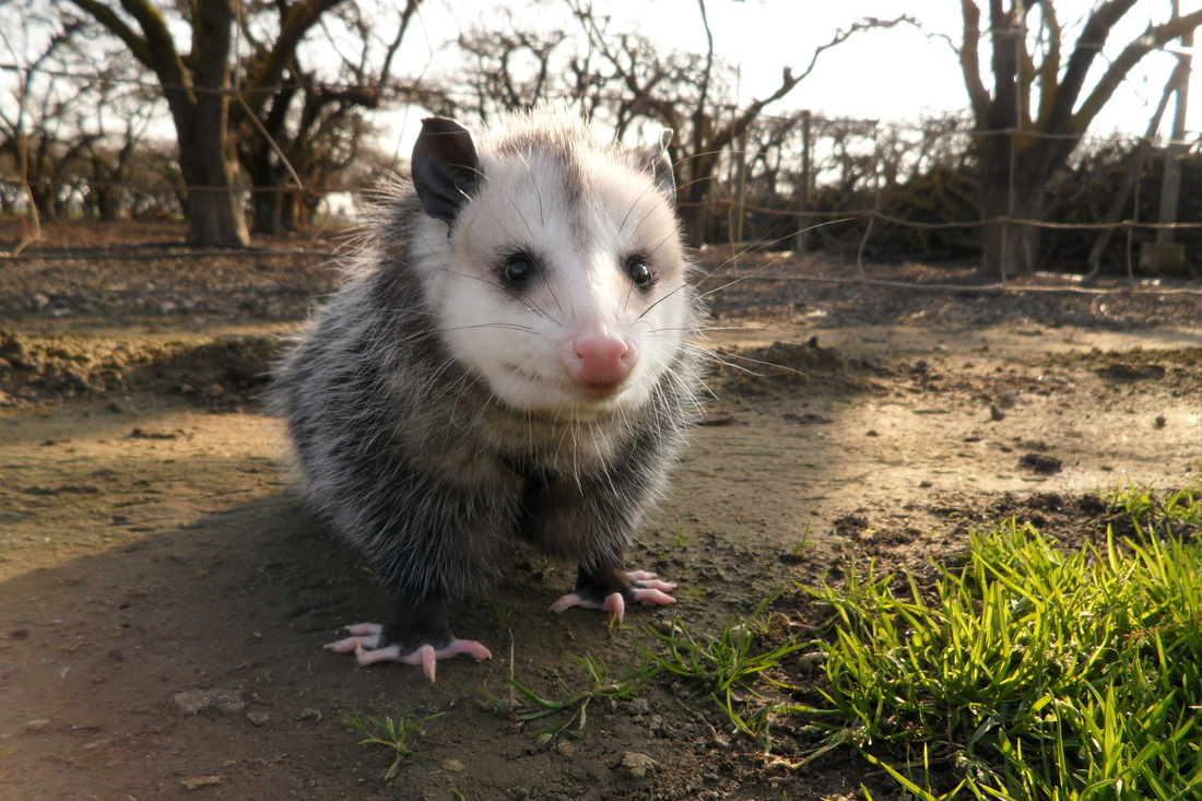 Donu0027t Get U0027Ticked Offu0027 If Possums Like To Visit Your Backyard!