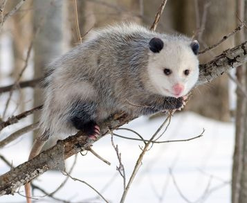 opossum-wintercoat-perching-wikipedia