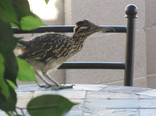roadrunner-on-table