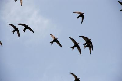 COmmon-Swift-flock.Biopix-JCSchou