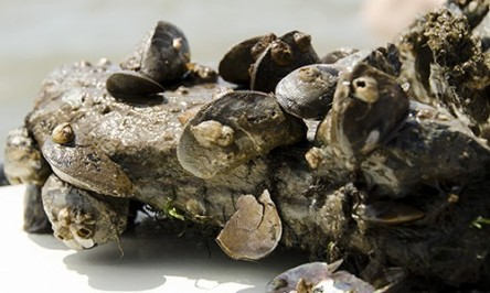 hooked-mussels-on-rock-substrate.chesapeakebayprogram