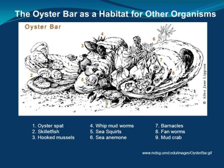 oyster-bar-chesapeake.univmd-alicejanelippson
