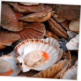 Isle-of-Mull-scallops