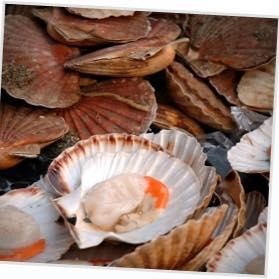 Isle-of-Mull-scallops