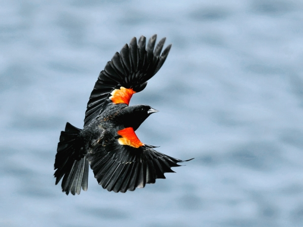 Redwinged-Blackbird.TrekNature
