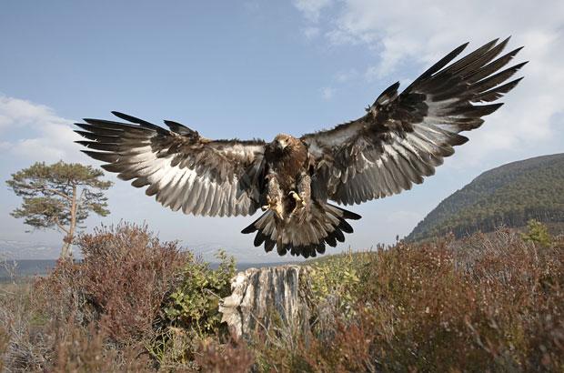 GoldenEagle-swooping-down.NETNS-WildlifeZone