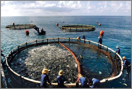 Indonesia-seabass.fishfarm-netpens