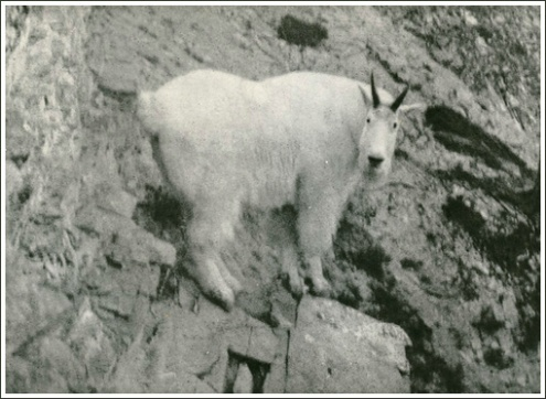 MountainGoat-on-cliffrock.Journal-o-Mtn-Hunting