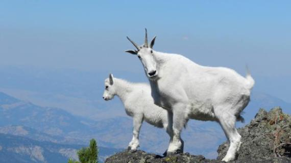 MountainGoats-Tetons.high-balancing