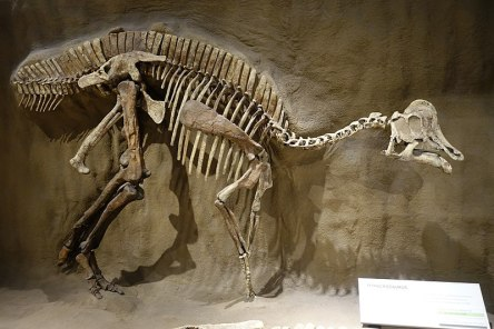 Duckbill-skeleton.Hypacrosaurus-AlbertaCanada