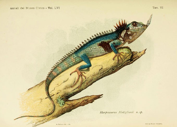 Modigliani-lizard.scientific-illustration-antique